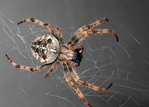 пауки враги клопов