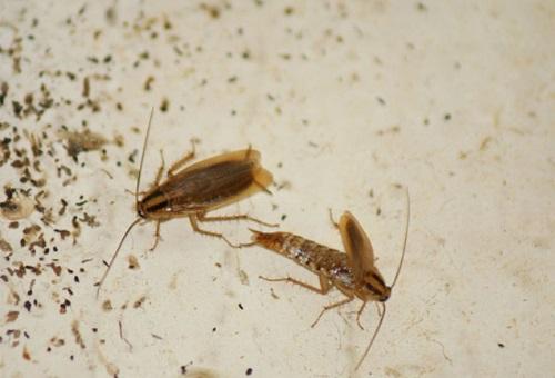 тараканы едят клопов