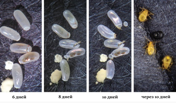 Яйца клопов фото