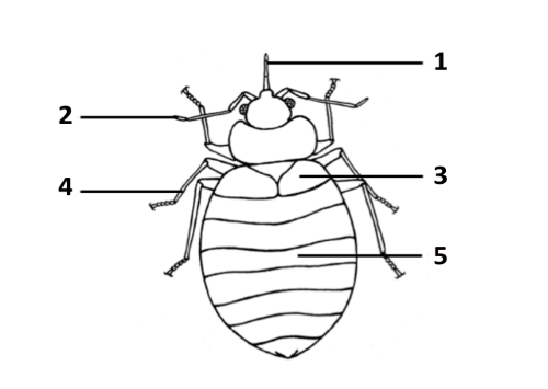 Строение тела бельевого клопа