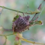 Коричнево-мраморный клоп – надвигающаяся «чума» сельского хозяйства