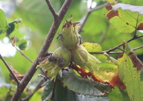 Мраморный клоп питается орехами