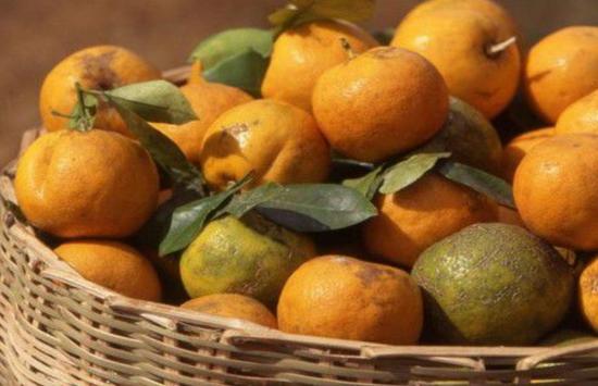 Поврежденные коричнево-мраморным клопом мандарины