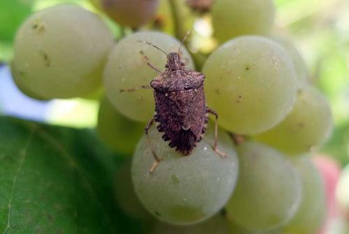 мраморный клоп повреждает виноград