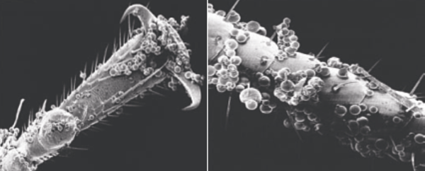 микрокапсулы цепляются на лапки клопа